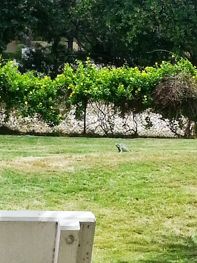 Iguana Sighting